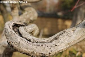 古い梅ノ木