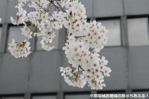 小田原城お堀端の桜