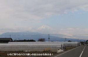 いちご狩りのハウス越しの富士山