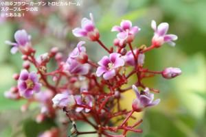 小田原フラワーガーデン トロピカルドーム温室 スターフルーツの花