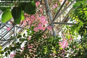 小田原フラワーガーデン トロピカルドーム温室 ブーゲンビリア