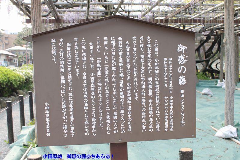 小田原城に「御感の藤」を見に行ったのですが、「まだこれから」って感じでした。