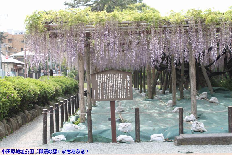 小田原城址公園の「御感の藤」は、散り始めていますが、きれいでした。