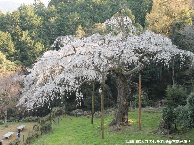 長興山紹太寺に、しだれ桜を見に行ってきました。