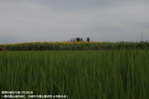 座間ひまわりまつり2018 田んぼの中のひまわり畑と展望台